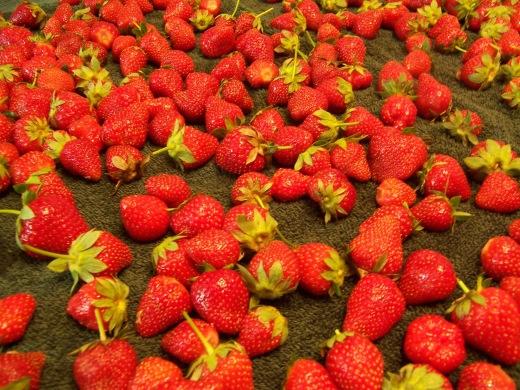 Strawberries Drying 2